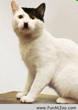 My cat looks like Hitler - Funny Picture