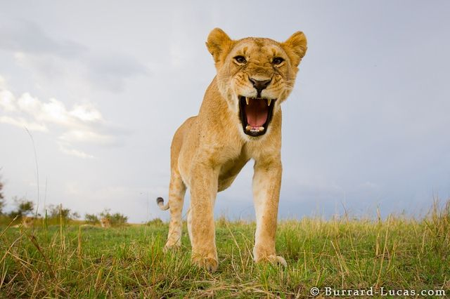 Incredible Lion Photos Taken With High-Tech Remote Control Camera : TreeHugger