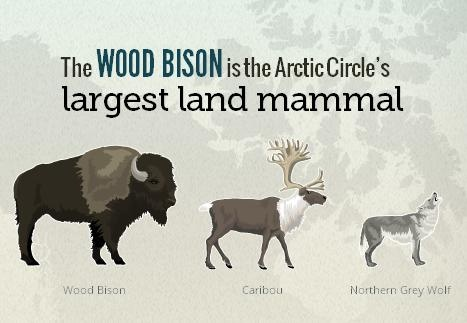 Frozen Fact: The Wood Bison is the Arctic Circle's largest land mammal.