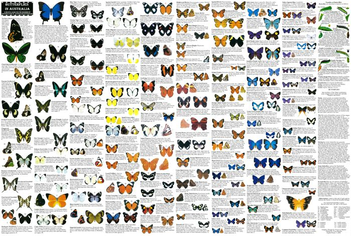 1000+ images about butterflies and moths on Pinterest | Butterflies, Vintage Butterfly and Moth - photo#10