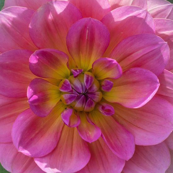 Hart van een roze dahlia