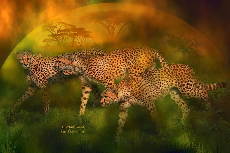 Cheetah World by Carol Cavalaris