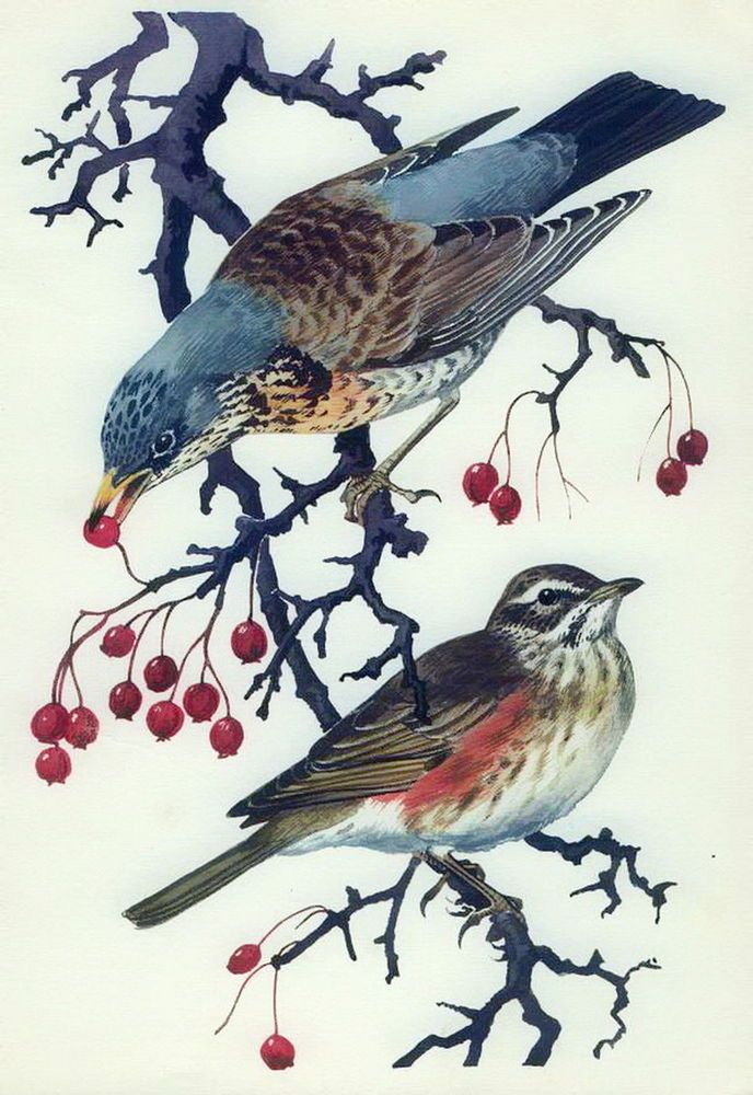 Rare Vintage c1946 Tunnicliffe Print Wildlife Bird REDWING FIELDFARE Ornithology