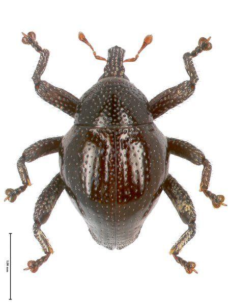 Trigonopterus kalimantanensis haben die Forscher auf der Insel Borneo gefunden.
