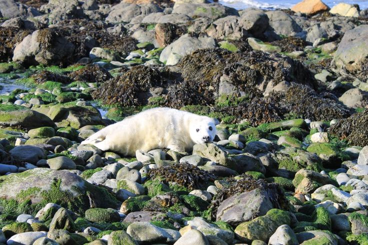 Seal pups are popping up on remote beaches around #Pembrokeshire They look like giant white slugs, only cuter @NatureUK @NearbyWild Photo by Jonathan Hughes ‏@JonathanPembs