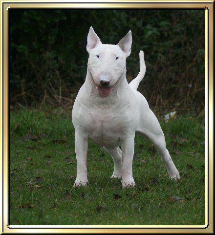 The Beautiful Marshall Rip English Bulldog Puppies Bull Terrier Puppy Staffordshire Bull Terrier Puppies