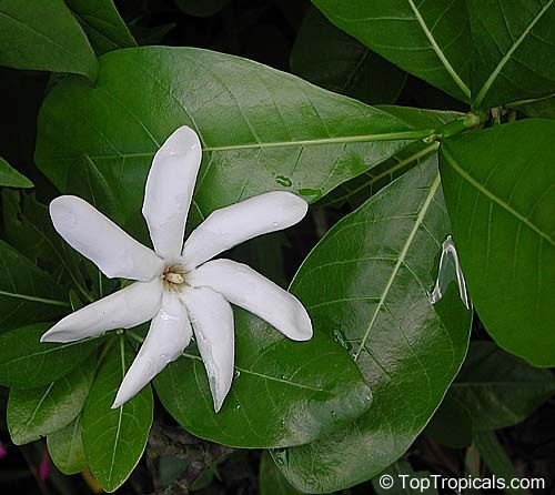 Image Result For How Many Petals On A Tiare Mono I De Tahiti