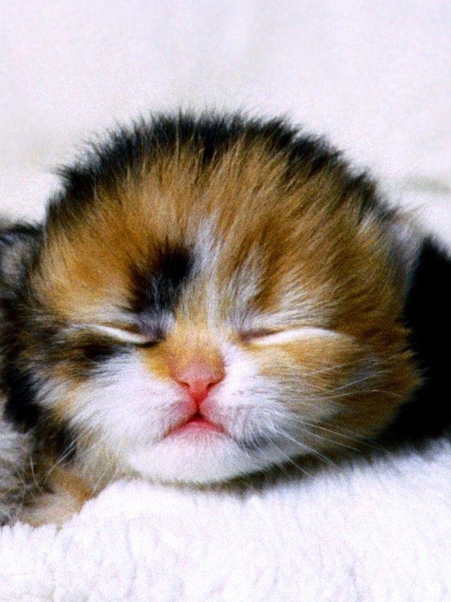 Newborn Calico Kitten Newborn Kittens Calico Kitten Cute Cats