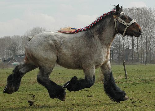 Brabant Draft Horse--close relative of the Belgian draft horse.