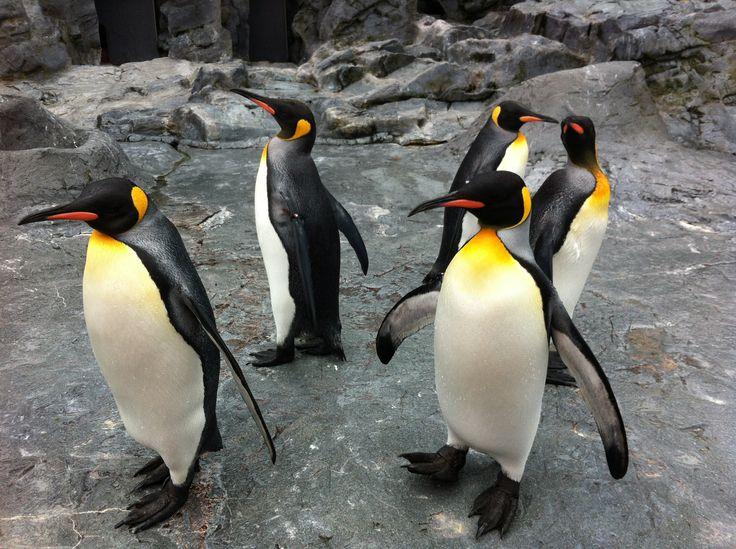 Asahiyama Zoo in Asahikawa Hokkaido...penguins on parade