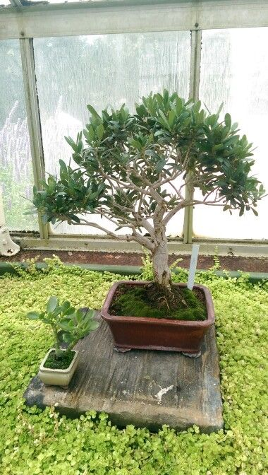 68 best olivo bonsai images on Pinterest | Bonsai, Bonsai trees and ...
