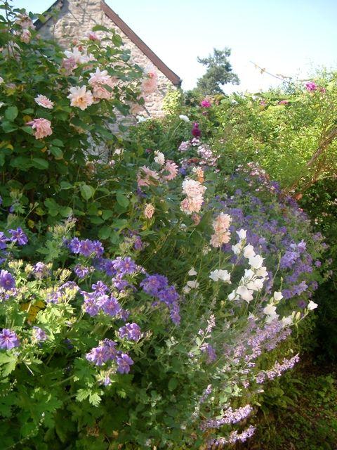 (Geranium magnificum, Rose Penelope, Nepeta (Catmint) and Campanulas