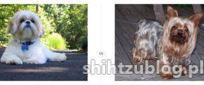 Shih Tzu versus Yorkshire Terrier, porównanie ras na http://shihtzublog.pl/co-wybrac-shih-tzu-czy-york-yorkshire-terrier