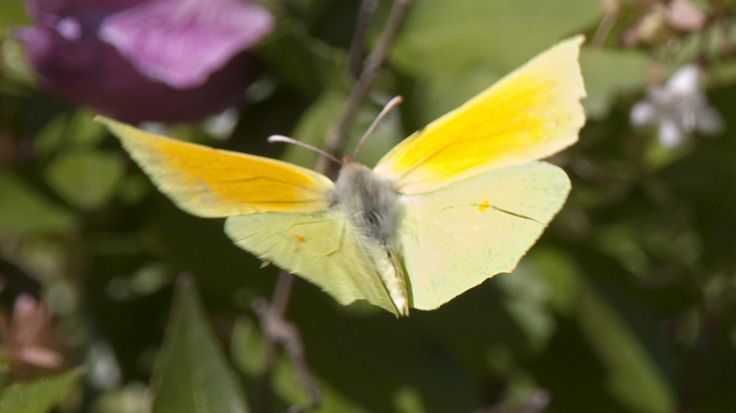 A yellow butterfly symbolizes hope and guidance. In early Christianity, it was a symbol of the soul. In Scotland and Ireland, a yellow butterfly near the departed means the soul is at peace. The...