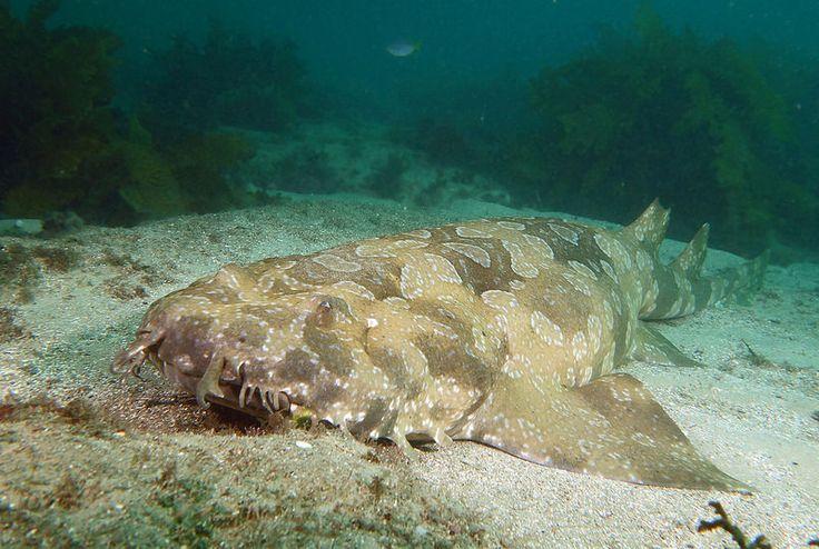 Pregnant female? Spotted wobbegong - Orectolobus maculatus #marineexplorer