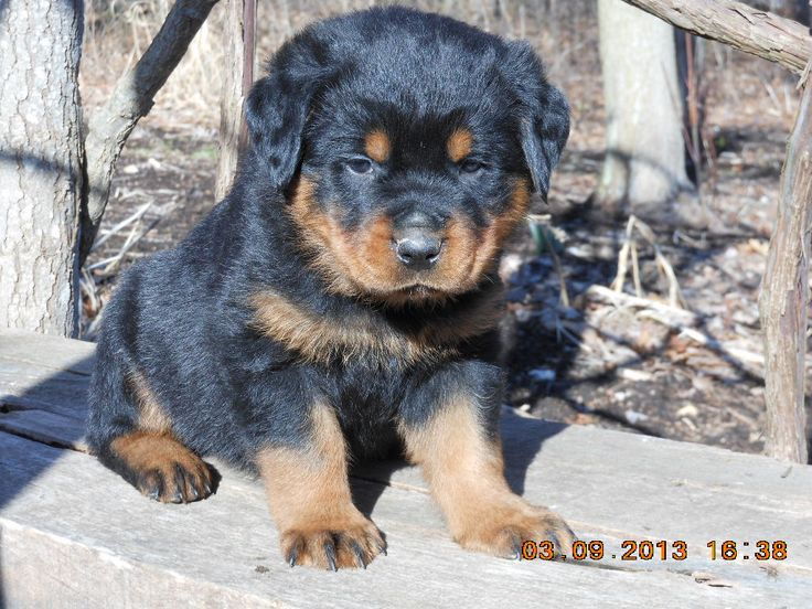 Rottweiler Puppies For Sale  9-20  This is a litter from proven parents. The puppies are raised with children and we offer a health guar on all pups.   http://clearlyinternet.com/dogsclass/rottweiler-puppies-for-sale-9-20/