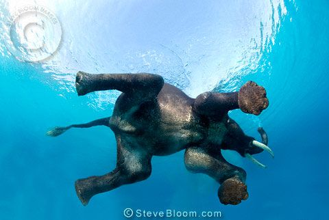Indian elephant swimming underwater, seen from below by Steve Bloom - I love this photo!