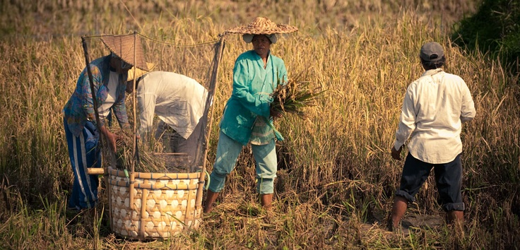 Harvest time for these humble farmers as they gather rice from the field and carefully place this in the basket.
