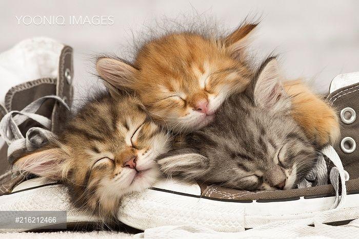 PortForLio - Cat - Siberian kittens