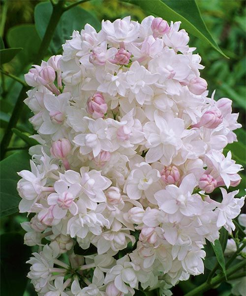 Intenzivní vůně šeříku Šeřík obecný ´Beauty of Moscow´  Syringa vulgaris ´Beauty of Moscow´ Plné, sněhově bílé květy se otvírají z růžových poupat.  Mrazuvzdorný nenáročný a bohatě kvetoucí.  Stanoviště: plné slunce - polostín.  Doba kvetení: květen - červen.  Výška: asi 3,5 m. Dodáváme v květináči.  Můžete zakoupit zde: http://eshop.starkl.com/serik-obecny-beauty-of-moscow-130187/