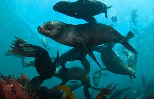 Watch: Famous Cape Fur Seals swimming is the most relaxing video you will watch today!