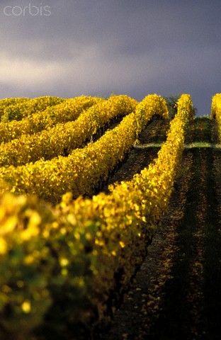 Coteaux de Corent vineyard, Martres de Veyre, Puy de Dome, France | Guy Christian, Corbis
