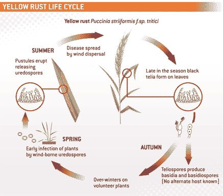 yellow-rust-life-cycle