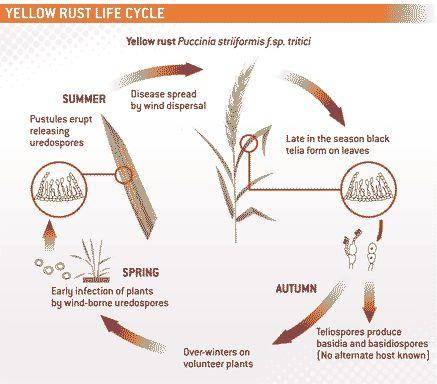 yellow-rust-life-cycle