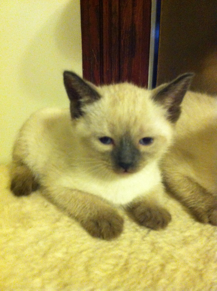 Seal Point Siamese For Sale images