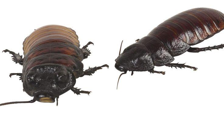 Cómo repeler las cucarachas naturalmente. Las cucarachas son las criaturas más difíciles de quitar de tu hogar. Sin embargo, estos pequeños bichos no son indestructibles. Aquí encontrarás unos pasos rápidos y sencillos que no sólo matarán las cucarachas en sus nidos sino que también las repelerán.