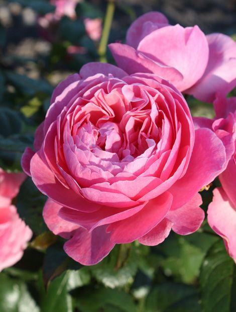 Strauchrose 'Kölner Flora'   Die bogig wachsende Strauchrose 'Kölner Flora' erstrahlt in kräftigem Pink mit einem Hauch von Aprikot. Besonders am Abend verströmen die nostalgisch großen Blütenbälle einen intensiven Duft nach würziger Myrrhe und Anis sowie nach betörendem Ylang. Erhältlich ist sie bei Kordes Rosen.