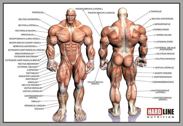 Картинка с мышцами и названиями