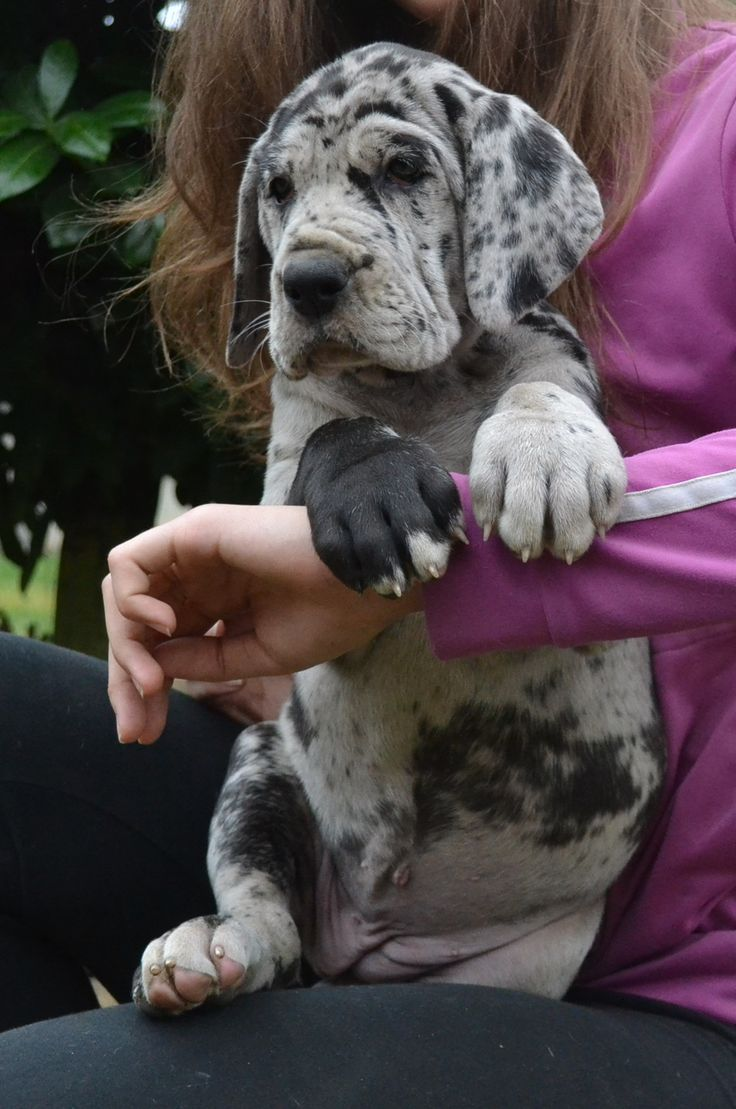 #Great #Dane #Puppy! Love those paws!
