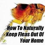 Naturally Kill Fleas And Keep Them Out Of Your Home