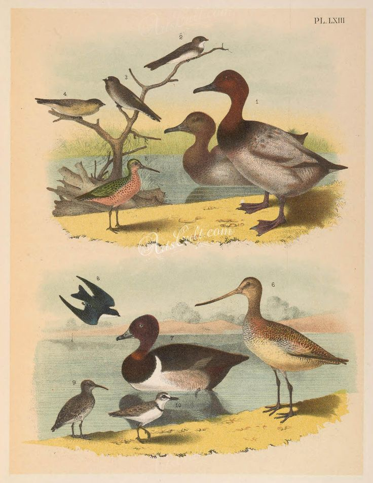 063-Canvas-back Duck (1), Bank Swallow or Sand Martin (2), Cliff Swallow or Eave Swallow (3), Rough-winged Swallow (4), Red-breasted Snipe or Gray Snipe (5), Great Marbled Godwit (   ...