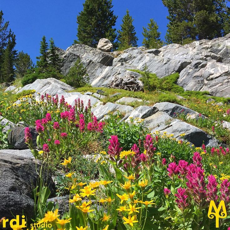 Stunning displays of wild flowers dot the landscape along the Beehive Basin trail outside of Big Sky, Montana.