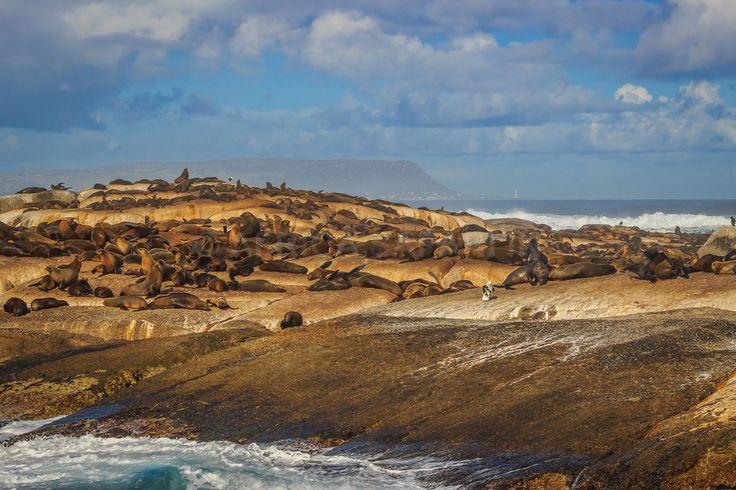 https://flic.kr/p/v8EN75 | Cape Fur Seals colony | at Duiker Island, South Africa. #meetsouthafrica  www.AfricaSafari.IN