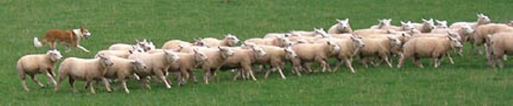 """If you are used to seeing Border Collies work, the way the Welsh Sheep Dogs work will be somewhat of a shock to you. They are """"upright"""" or """"loose-eyed"""" workers, meaning they do not crouch or eye the sheep"""