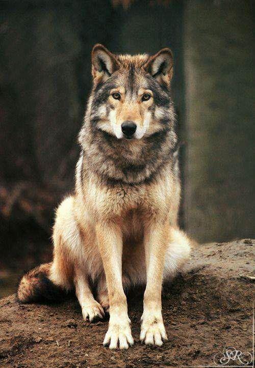 Loup magnifique <3 ****