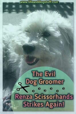 Check out our new blog post - The Evil Dog Groomer - Renza Scissorhands Strikes Again at Life and dog stuff blog. dog grooming | dogs | haircuts #humor #dogs