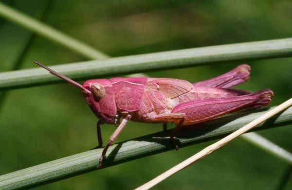 Saltamontes rosa #ExpertoAnimal #MundoAnimal #ReinoAnimal #Animales #Naturaleza #AnimalesExóticos #AnimalesRaros #SaltamontesRosa