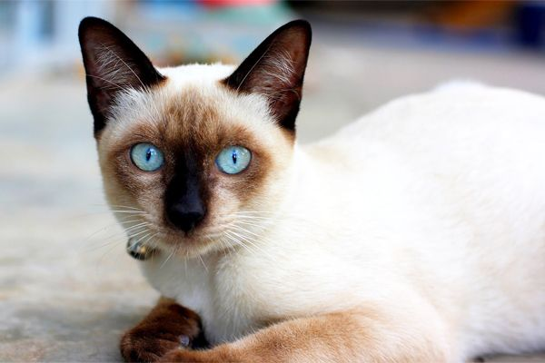 5 Tips Penjagaan Kucing Siam   http://www.wom.my/ada-apa/5-tips-penjagaan-kucing-siam/