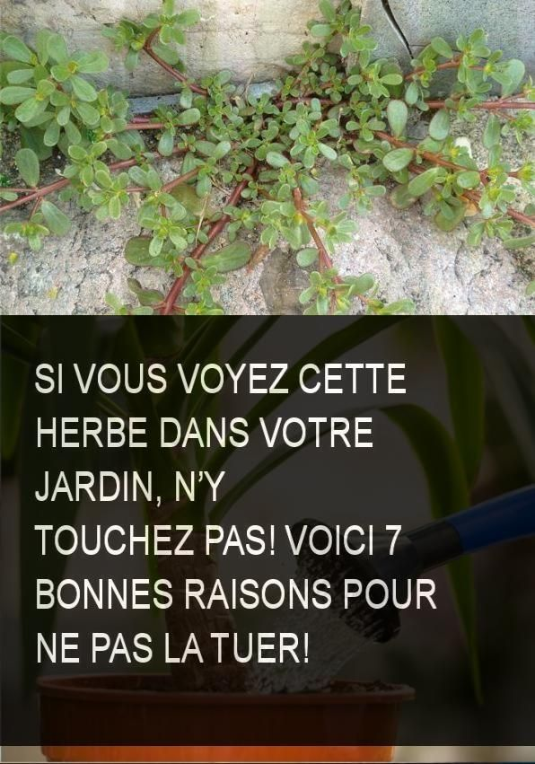 Si vous voyez cette herbe dans votre jardin, n'y touchez pas! voici 7 bonnes raisons pour ne pas l. a. tuer!