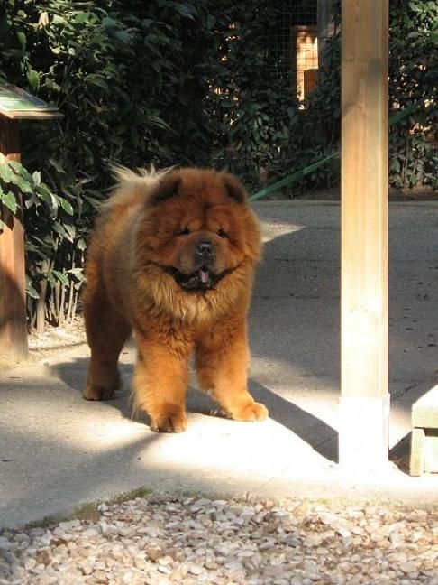 162 best chow chow puppies pictures images on pinterest animals chow chow puppies and dogs - Images of chow chow puppies ...