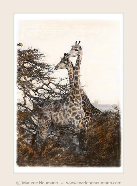 """Giraffes"" - Timeless black and white Fine Art Photography by Master Fine Art Photographer Marlene Neumann. Decor. Gifts. Art for your home and office. www.marleneneumann.com"