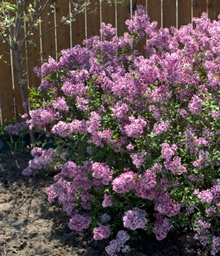1000 Ideas About Lilac Bushes On Pinterest Lilacs