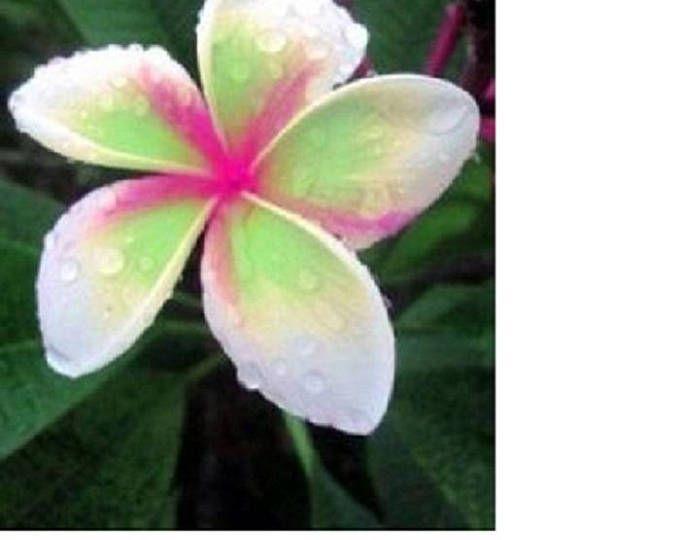 10 Pink White Plumeria Seeds Plants Flower Lei Hawaiian Garden Etsy Planting Flowers Hawaiian Gardens Plumeria