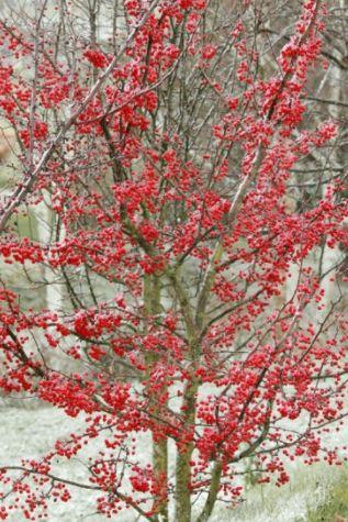 Plantez ce pommier à fruits décoratifs, Malus 'Red Jewel' qui apporte de la couleur au jardin dès l'automne et pendant tout l'hiver.