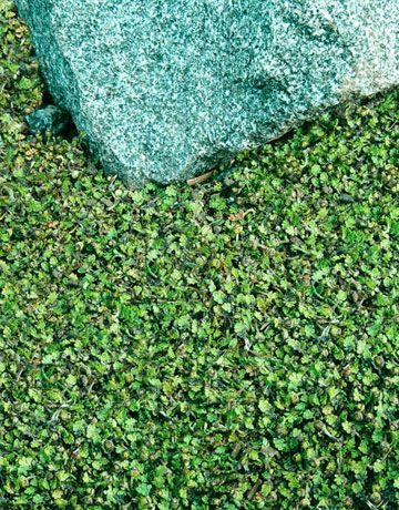 1000 images about gardening groundcover on pinterest for Perennial ground cover plants for sun