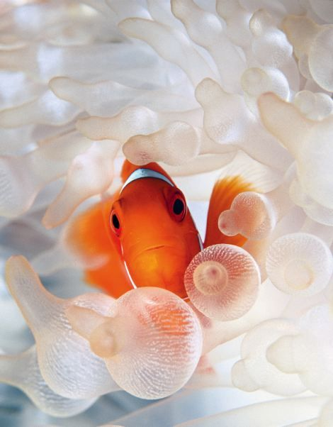 "Papua New Guinea - These ""clown fish"" are all born male, when its time to mate one will turn itself into a female, reproduce and then go back to being a male again! truly amazing!"